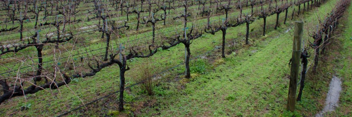 Napa Winter, Betty's Vineyard, St Helena, Napa Valley