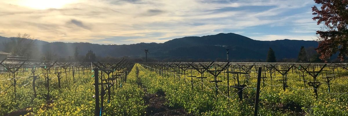 Ballentine-Vineyards-Winter-Mustard-Napa-Valley